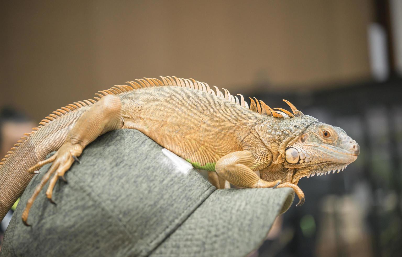 retrato de iguana en una gorra foto