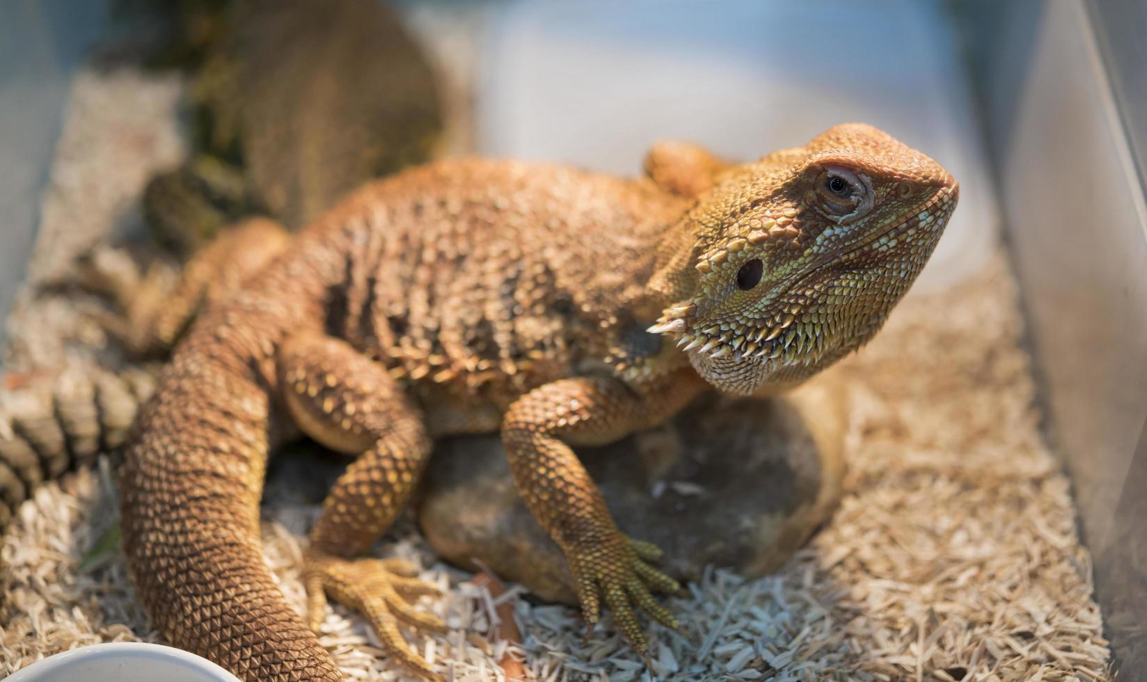 retrato de iguana en caja foto