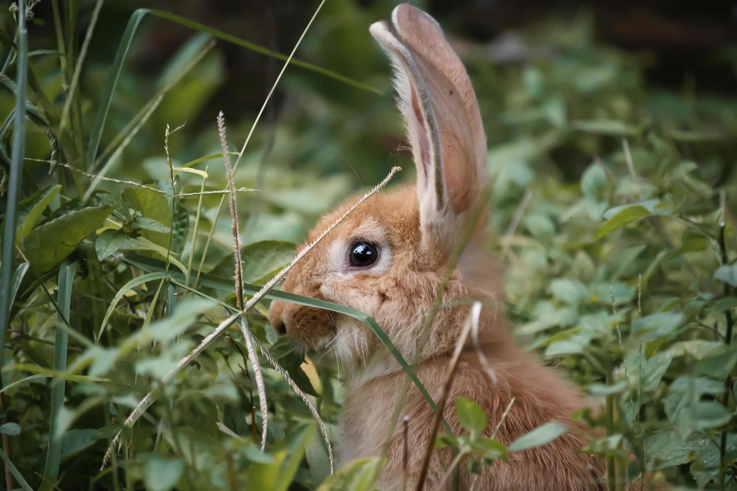conejo local de color marrón espeso foto