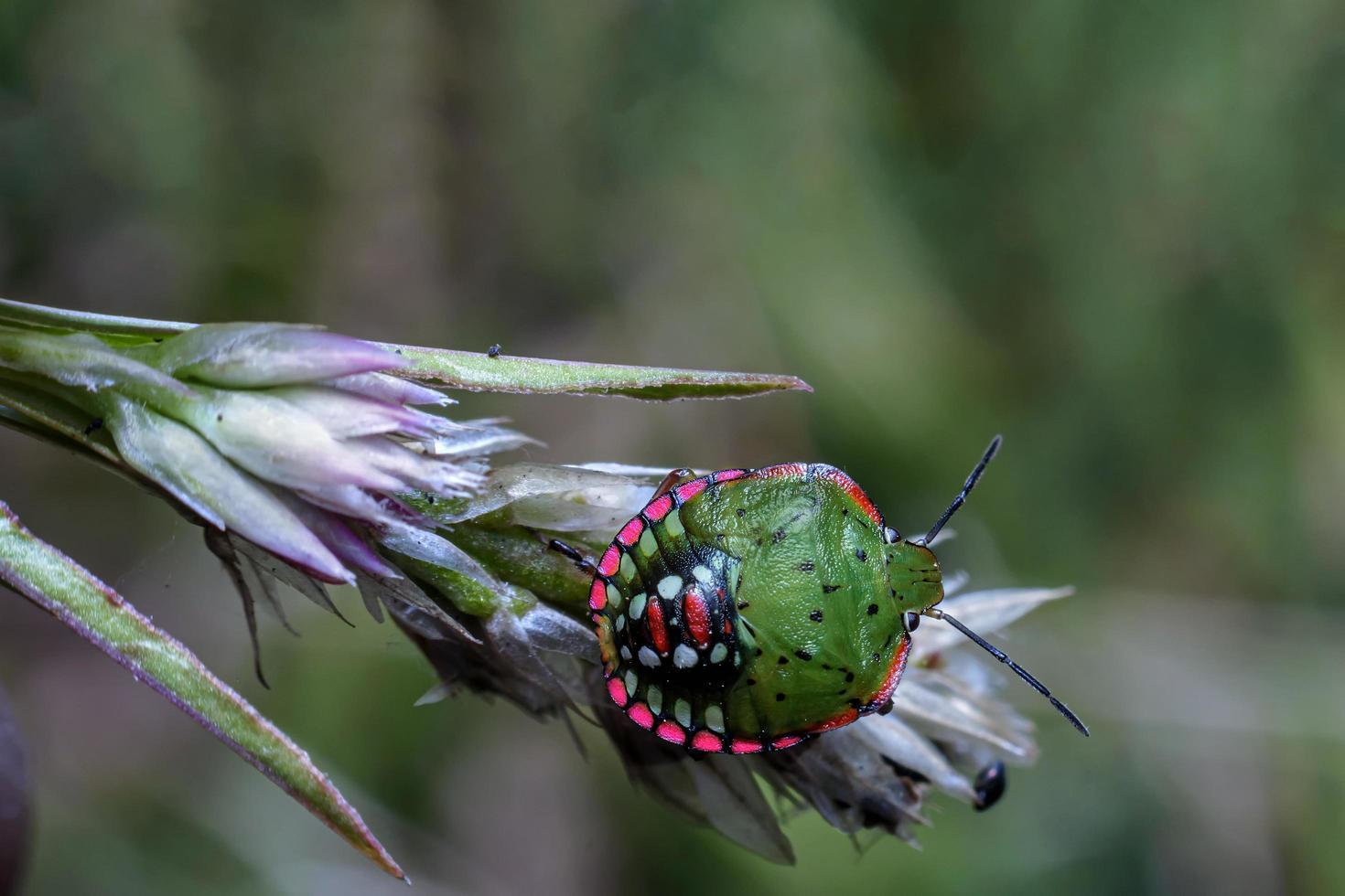 mariquitas, pequeños insectos con colores llamativos y que pueden volar foto
