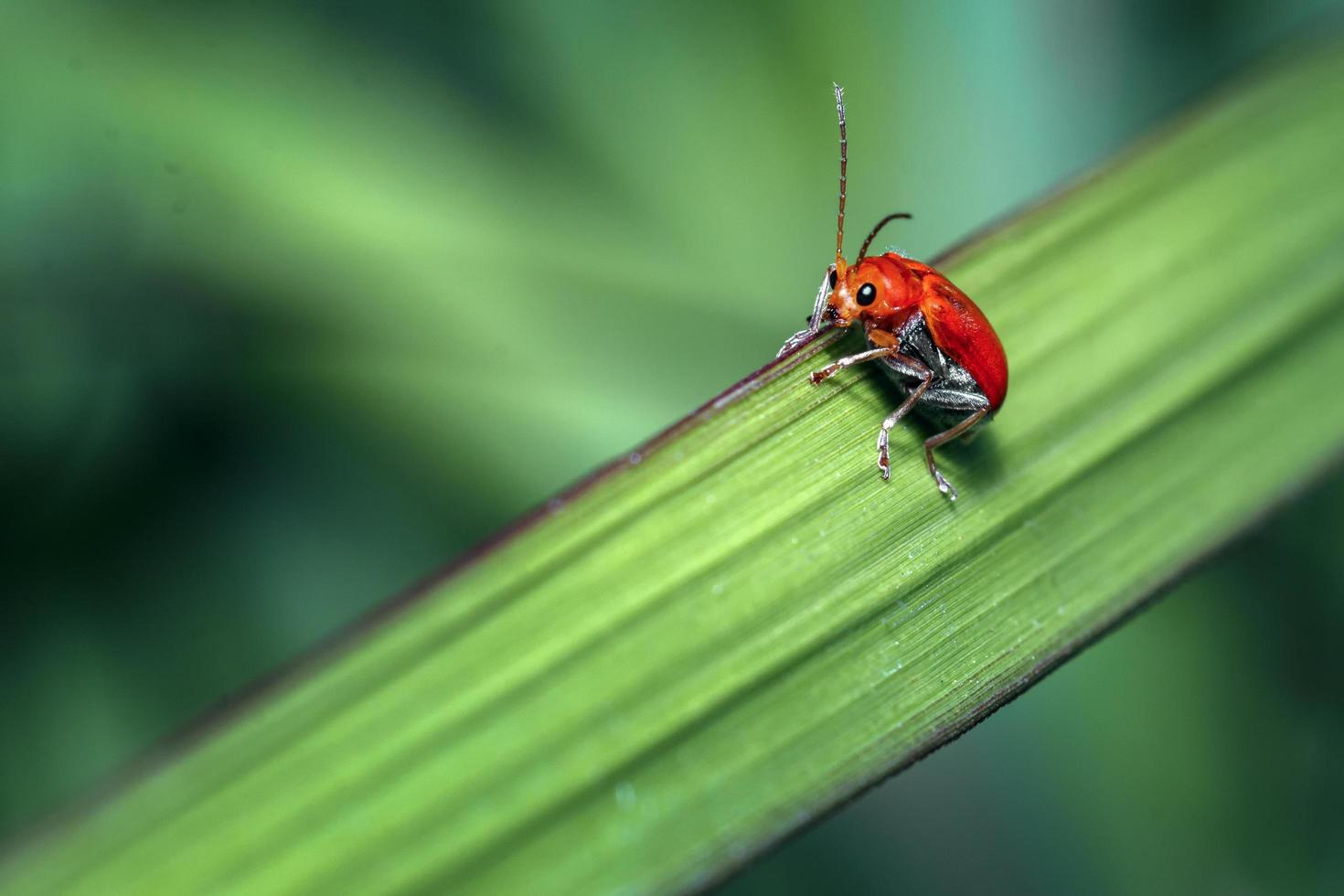 escarabajo naranja en la hoja foto