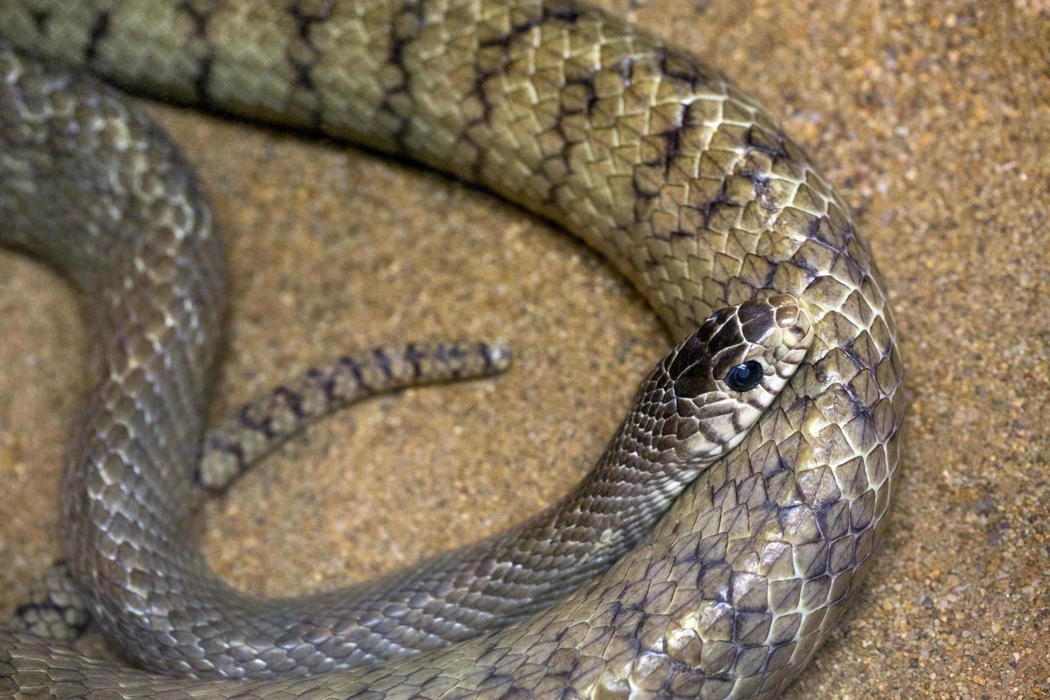Serpiente rata oriental en la arena. foto
