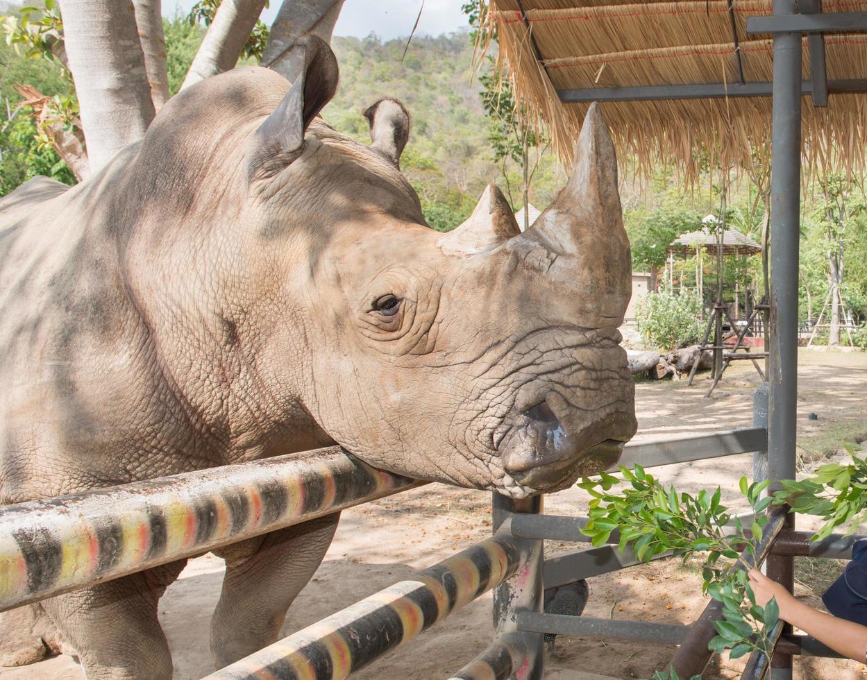 Una foto de un rinoceronte blanco en peligro de extinción come hierba