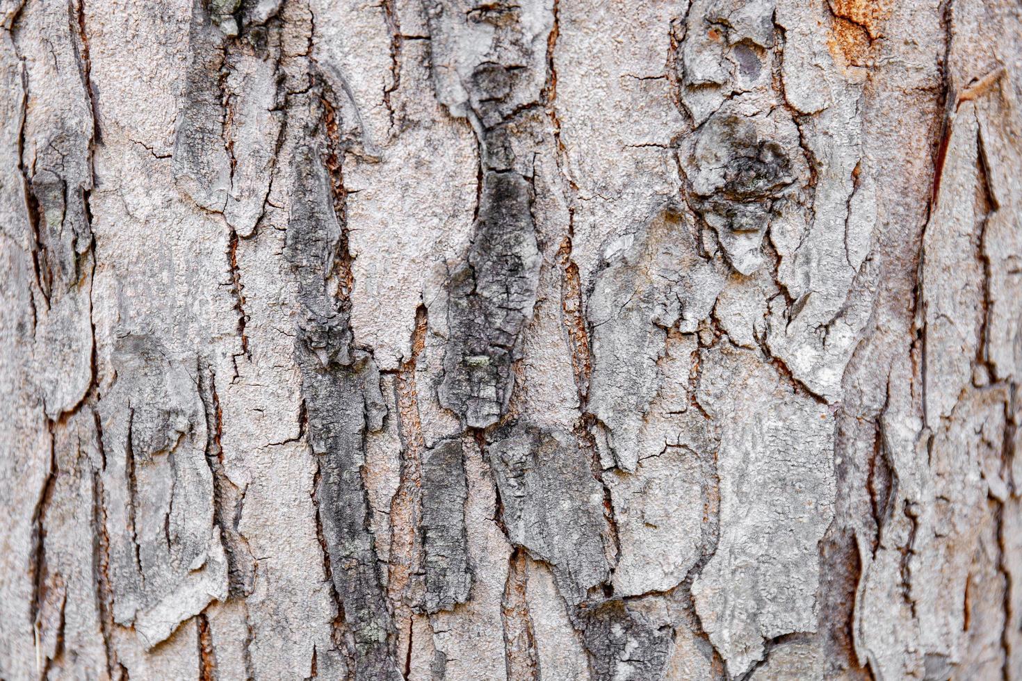 Corteza de árbol de primer plano de madera dura agrietada, fondo de naturaleza abstracta. foto