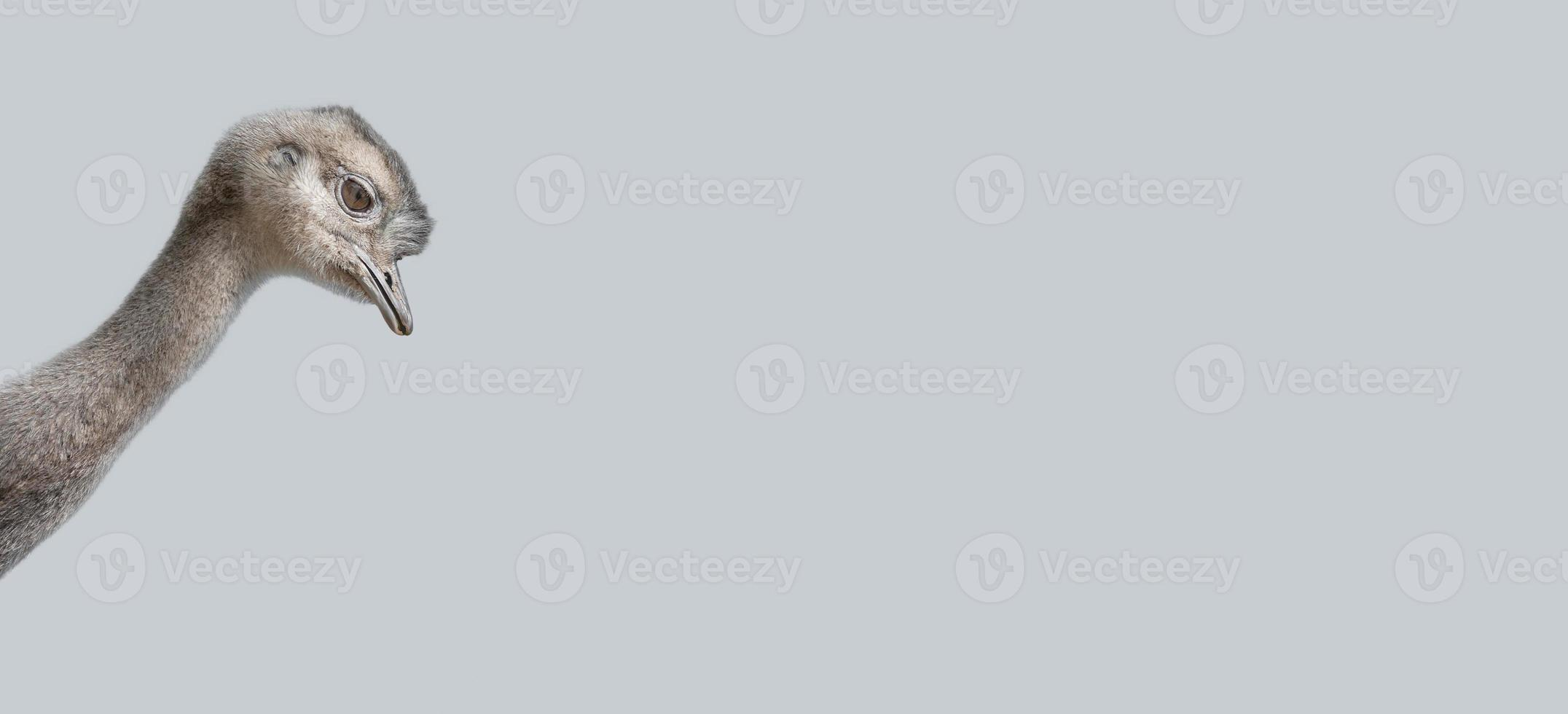 Banner with a cute young ostrich chick at solid grey background with copy space. Concept of wonder and curiosity. photo
