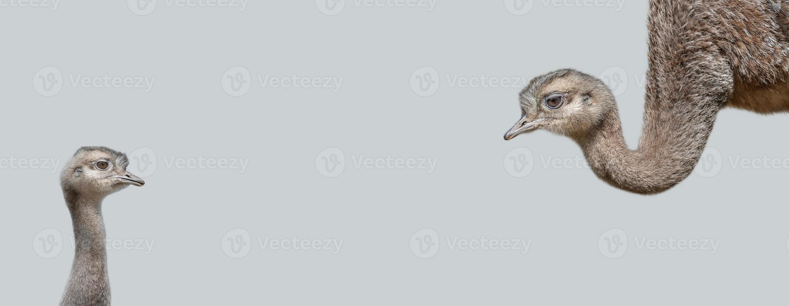 Banner with an ostrich mother with her cute and curious chick at solid grey background with copy space. Concept of biodiversity and wildlife conservation. photo