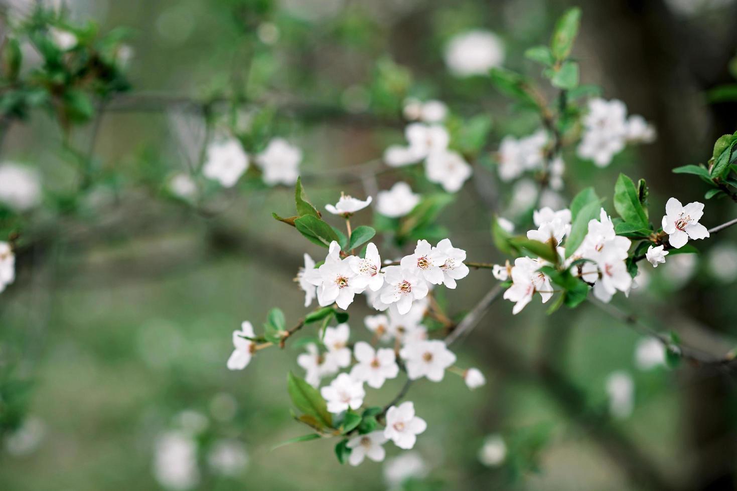 flores de cerezo en plena floración. flores de cerezo en pequeños racimos en una rama de un cerezo convirtiéndose en blanco sobre un fondo verde. poca profundidad de campo. textura floral. foto