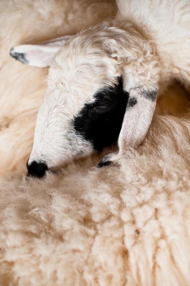 oveja marrón y blanca tirada en el suelo. foto
