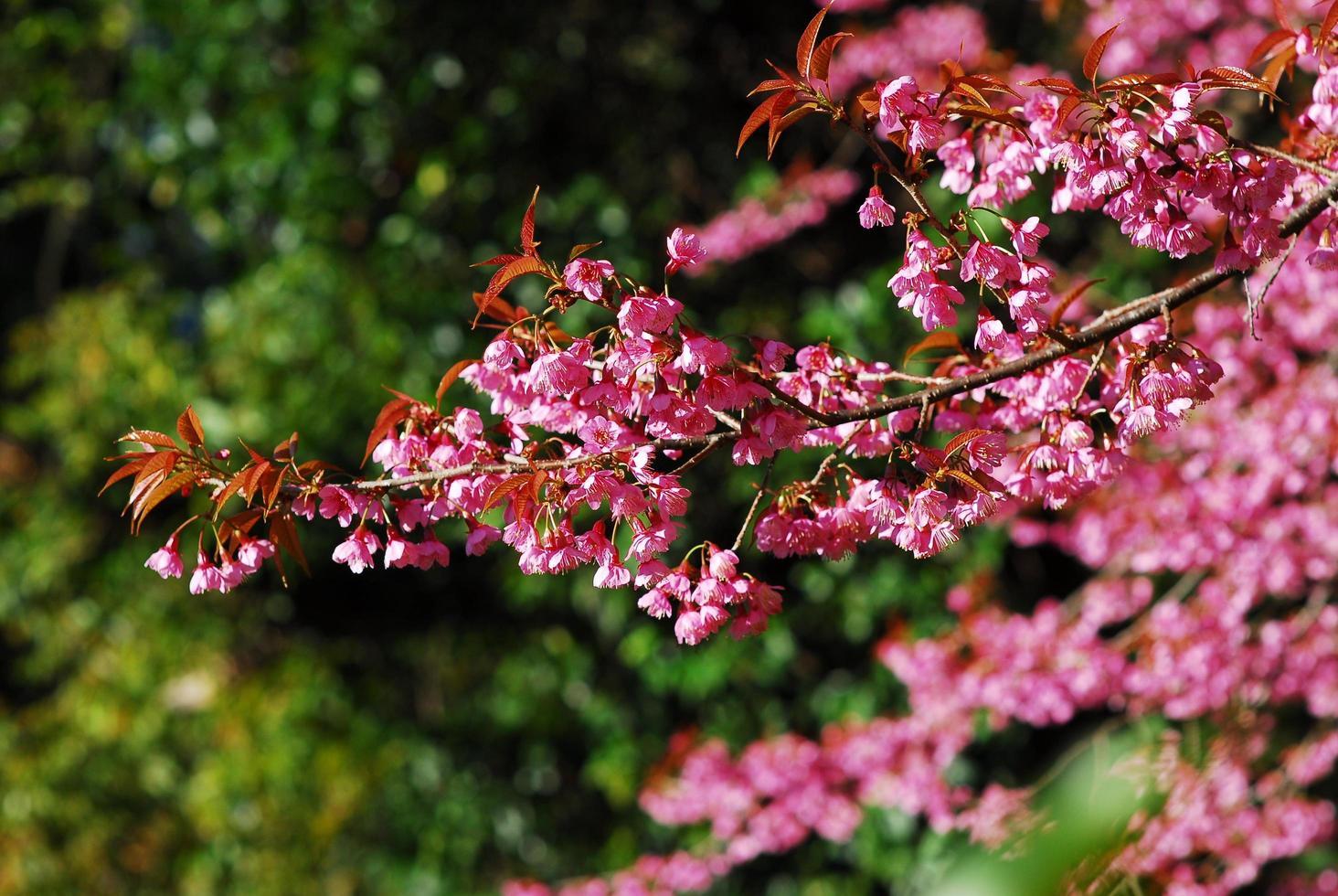 flor de cerezo rosa sakura en chiang mai, tailandia foto