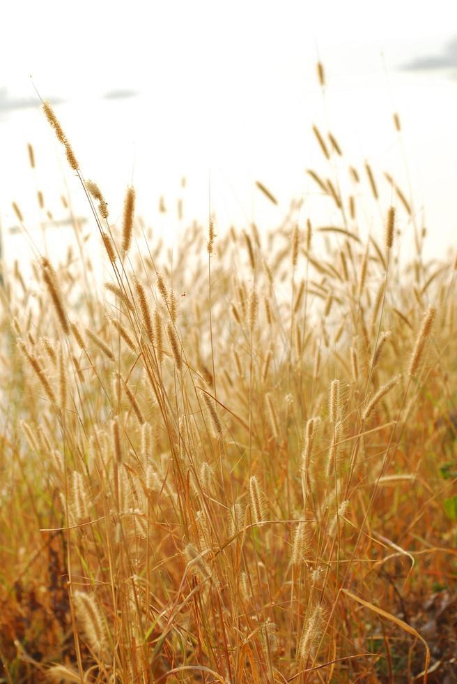campo de hierba dorada y día soleado, amanecer, atardecer foto