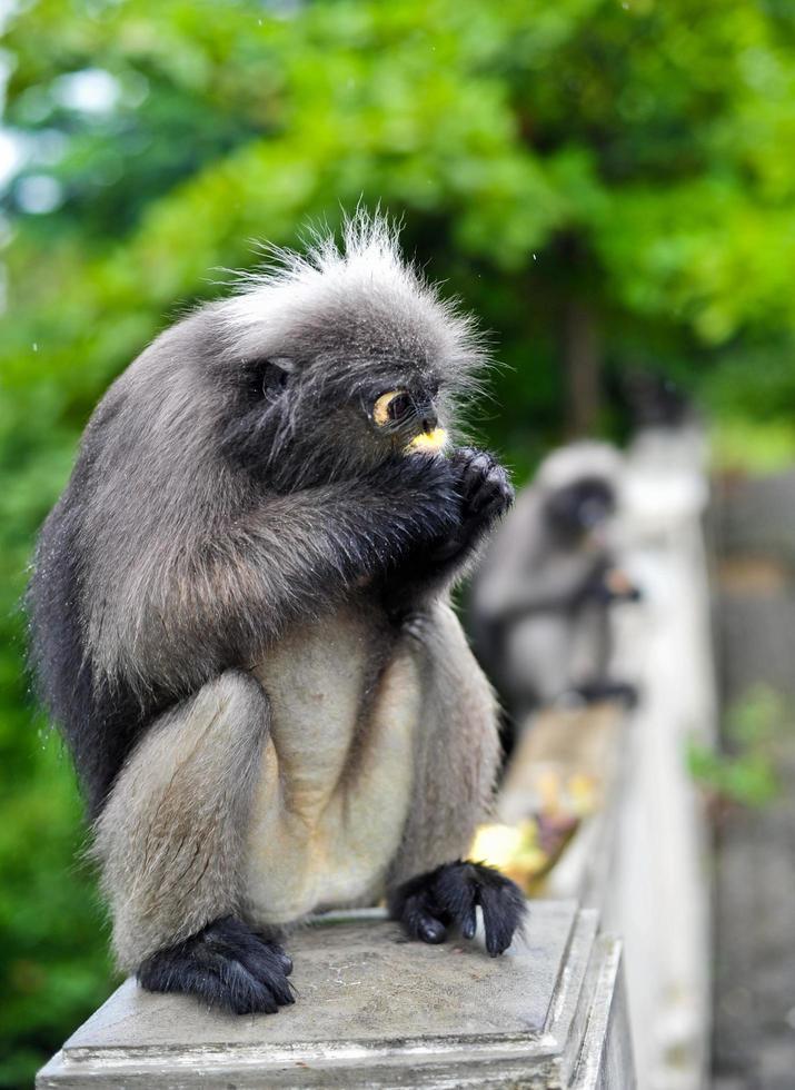 Mono de hoja oscura en Khao Lom Muag, Prachuap Khiri Khan, Tailandia foto