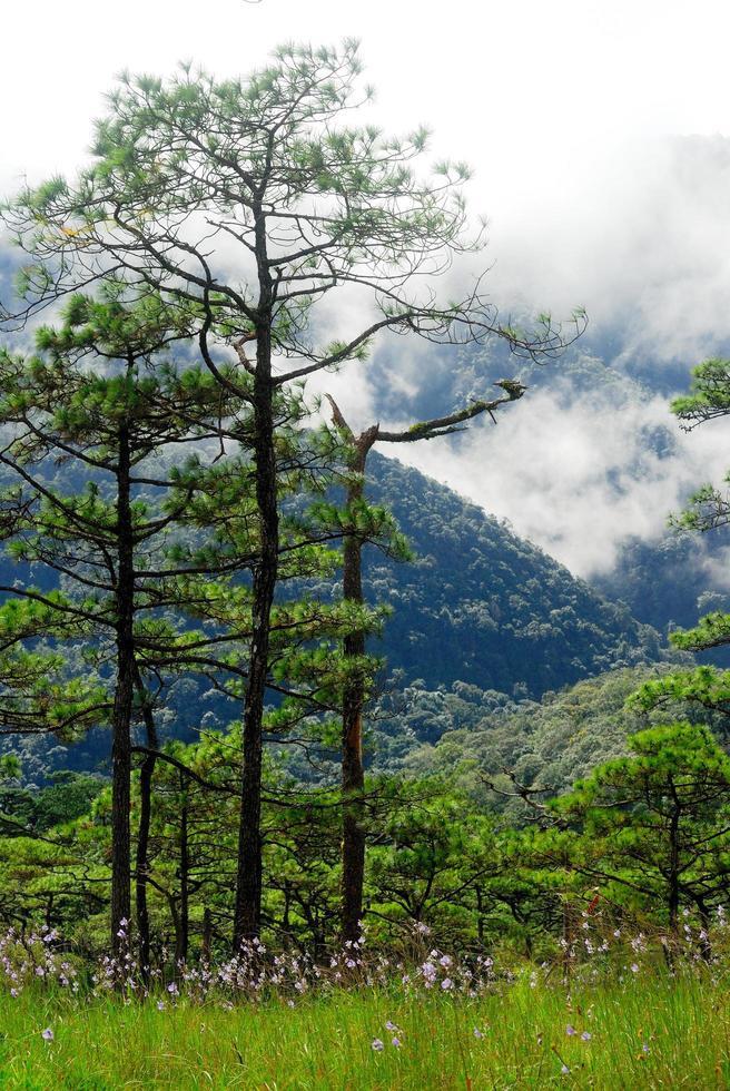 Pino en la montaña con niebla en el parque nacional de Phu Soi Dao, Utaradit, Tailandia foto