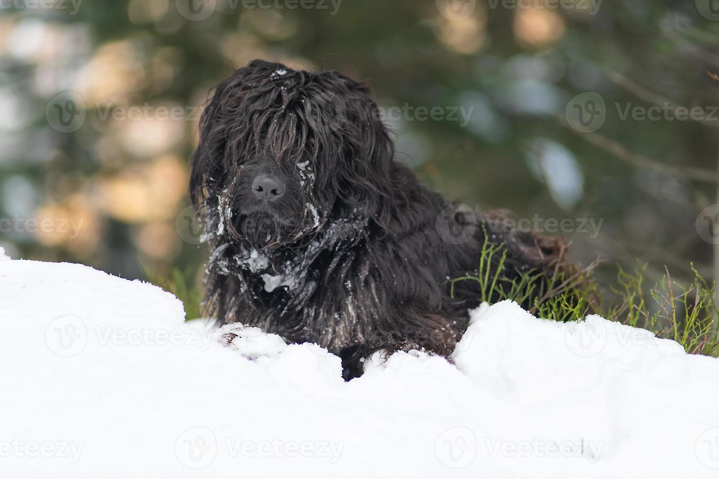 Perro pastor de montaña en la nieve con hielo en la piel foto
