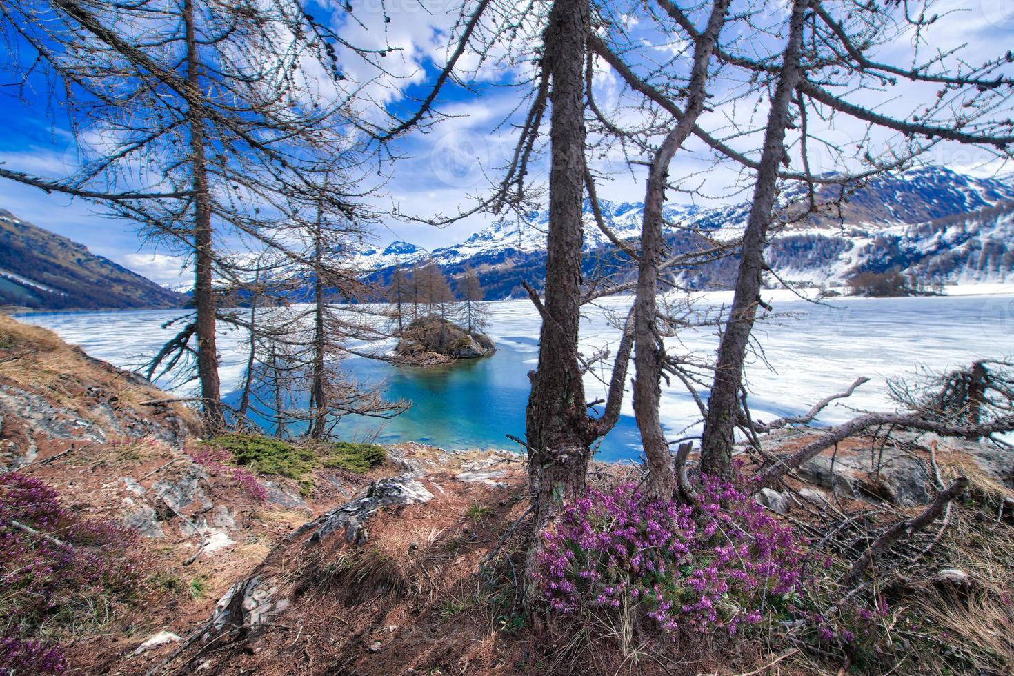 Deshielo en alta montaña con flores de primavera y medio lago congelado, valle de Engadine cerca de Sankt Moritz foto