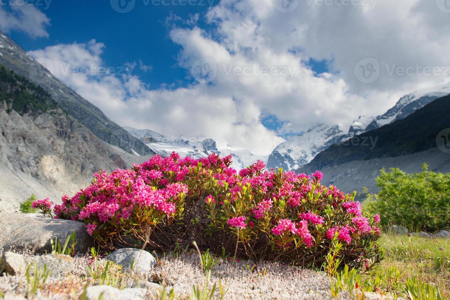 rododendros bajo montañas de glaciares en los Alpes foto