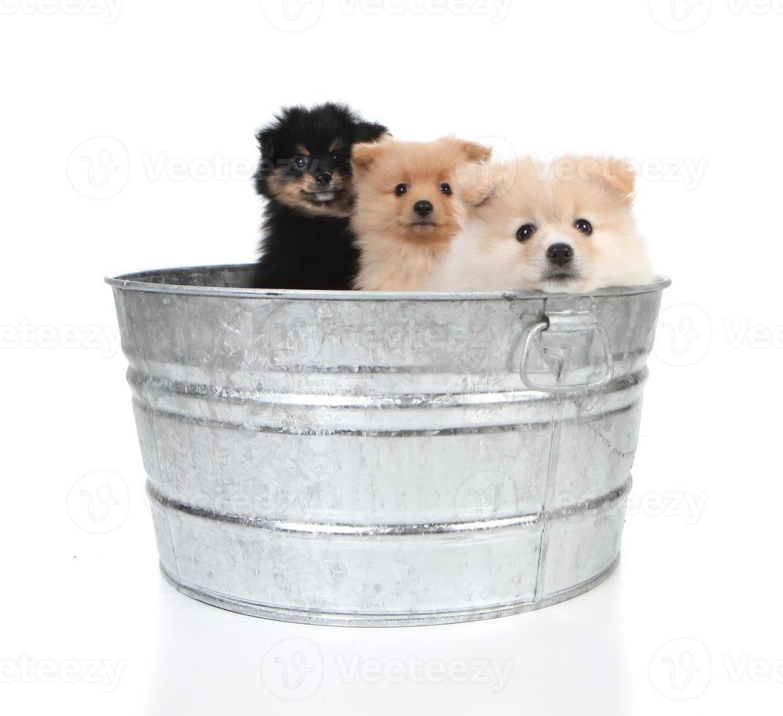 Cachorros de Pomerania en una vieja tina foto