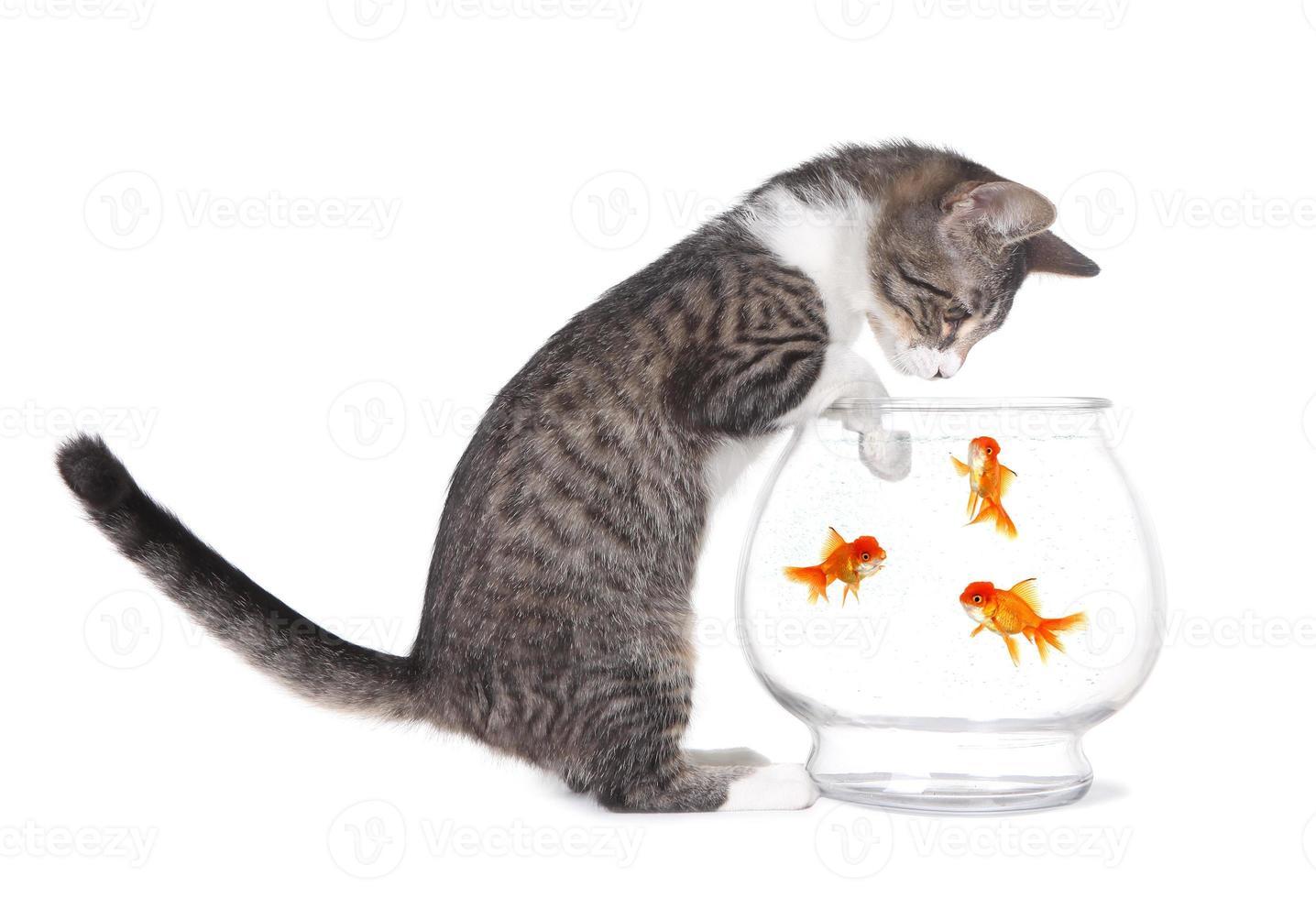 Gatito viendo peces nadar con patas en el acuario foto