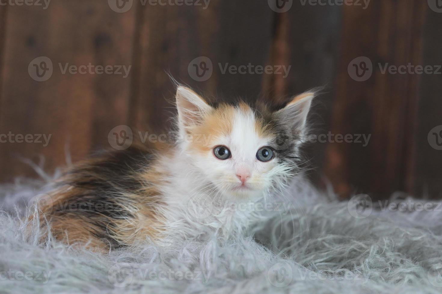 lindo gatito calicó sentado en la piel foto