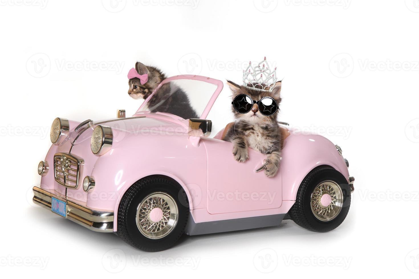 lindos gatitos maincoon conduciendo un convertible foto