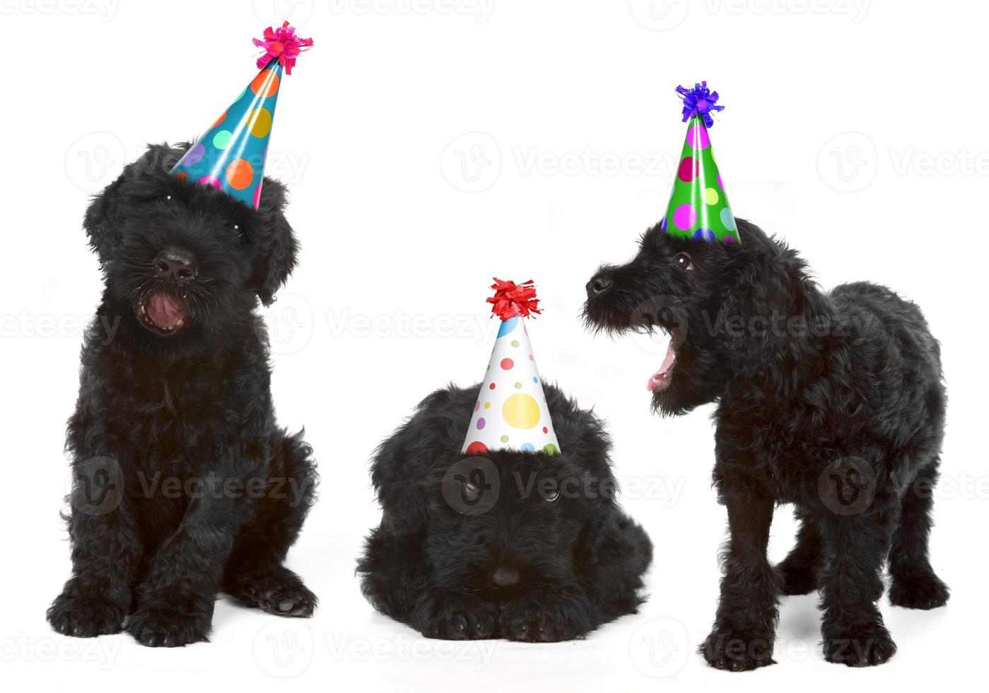 cumpleaños terriers rusos negros foto