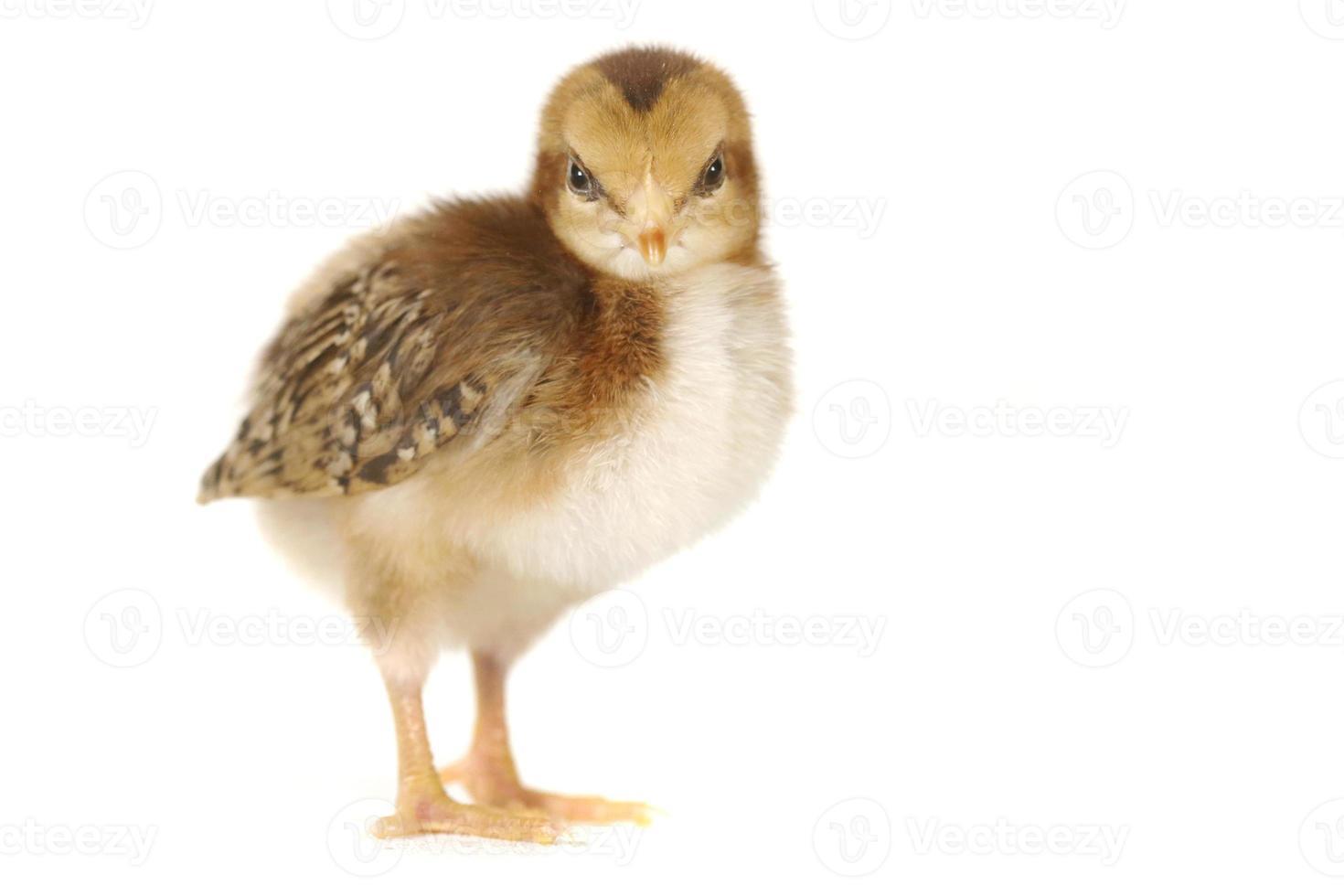 Adorable pollito de pollo sobre fondo blanco. foto