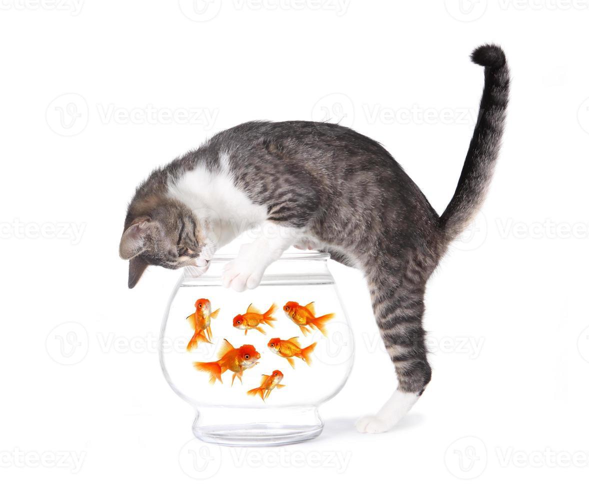 gato pescando peces dorados en un tazón de acuario foto
