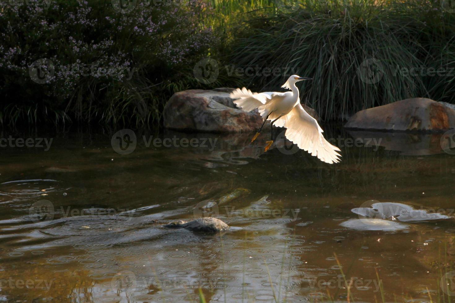 garza blanca volando fuera del agua foto