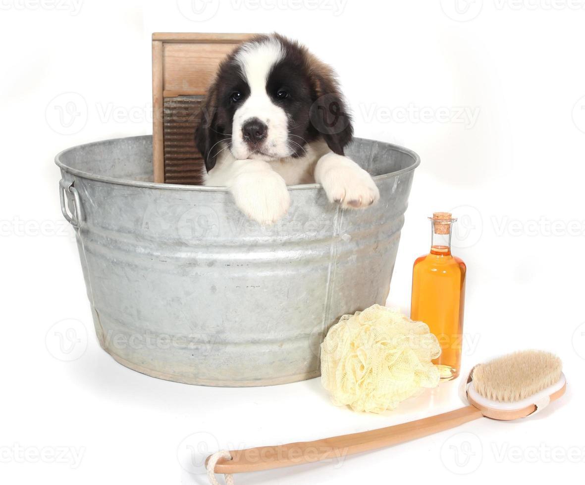 Cachorro de San Bernardo en una tina para la hora del baño foto