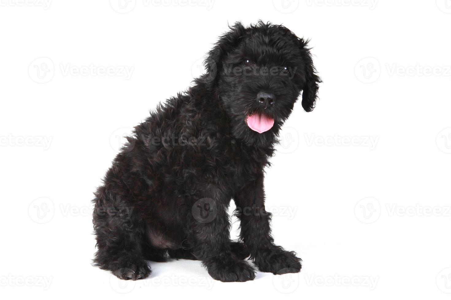 Lindo perrito terrier ruso negro sobre fondo blanco. foto