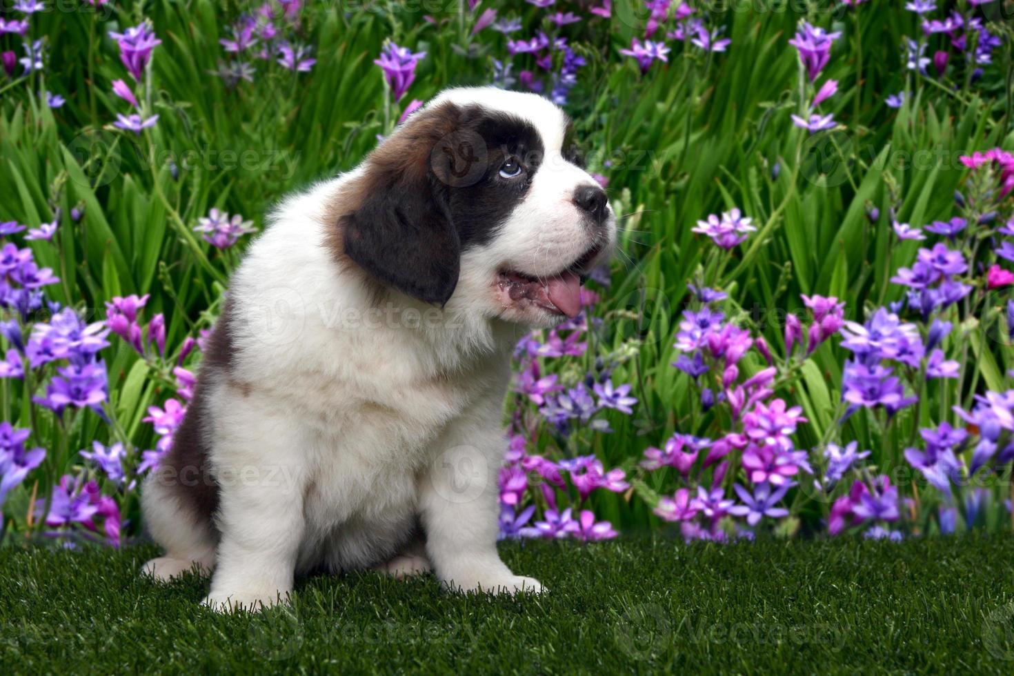 retrato de cachorro de san bernardo foto