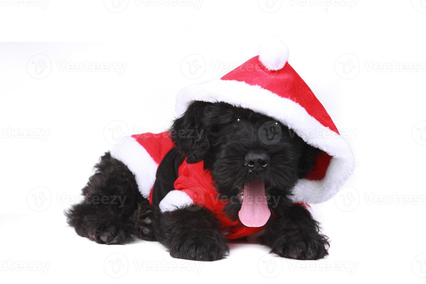 Lindo cachorro terrier ruso negro como santa sobre fondo blanco. foto