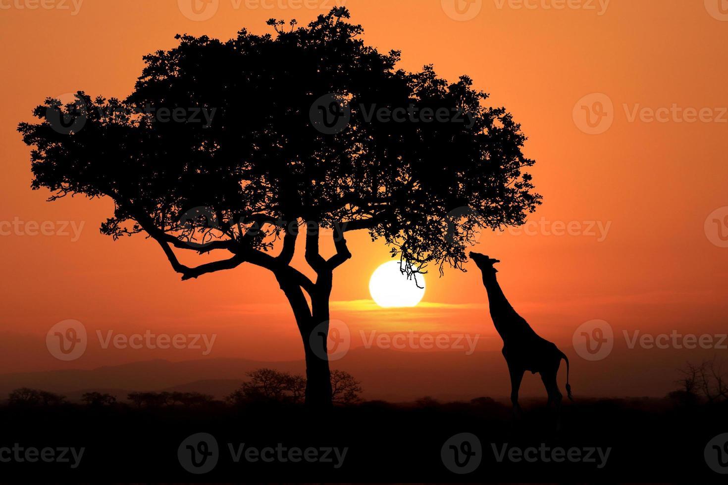 Grandes jirafas sudafricanas al atardecer en África foto
