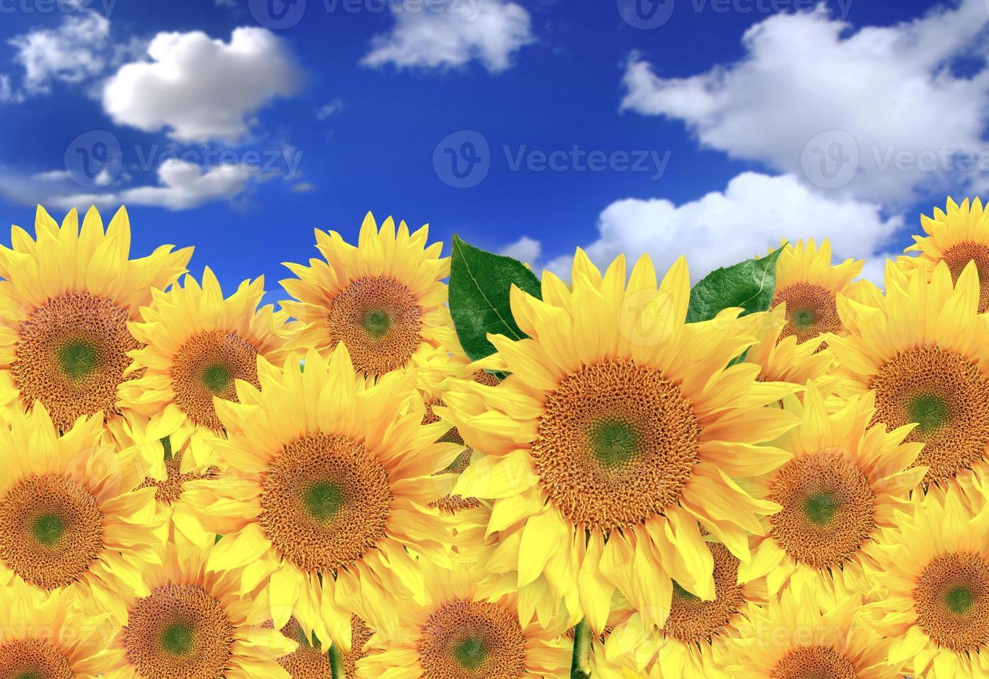 Girasoles felices en un campo en un día soleado foto