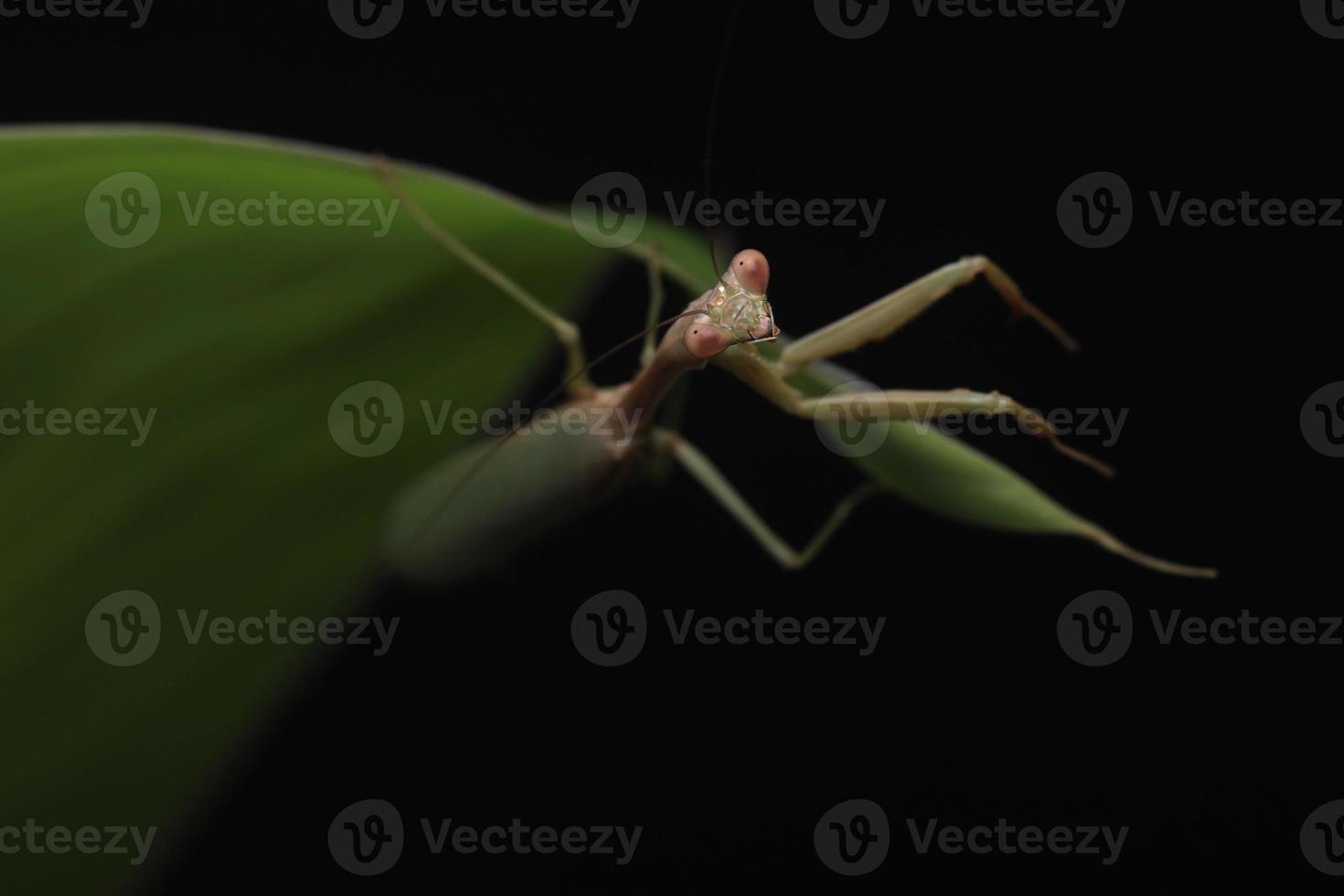 Mantis religiosa verde sobre fondo negro foto