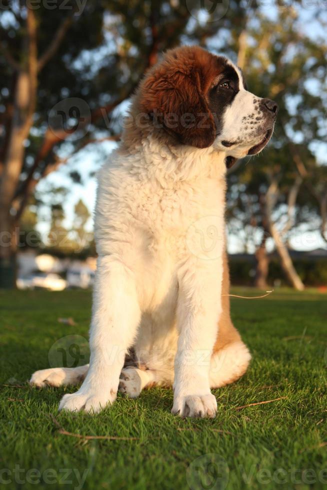 lindo cachorro de pura raza san bernardo foto