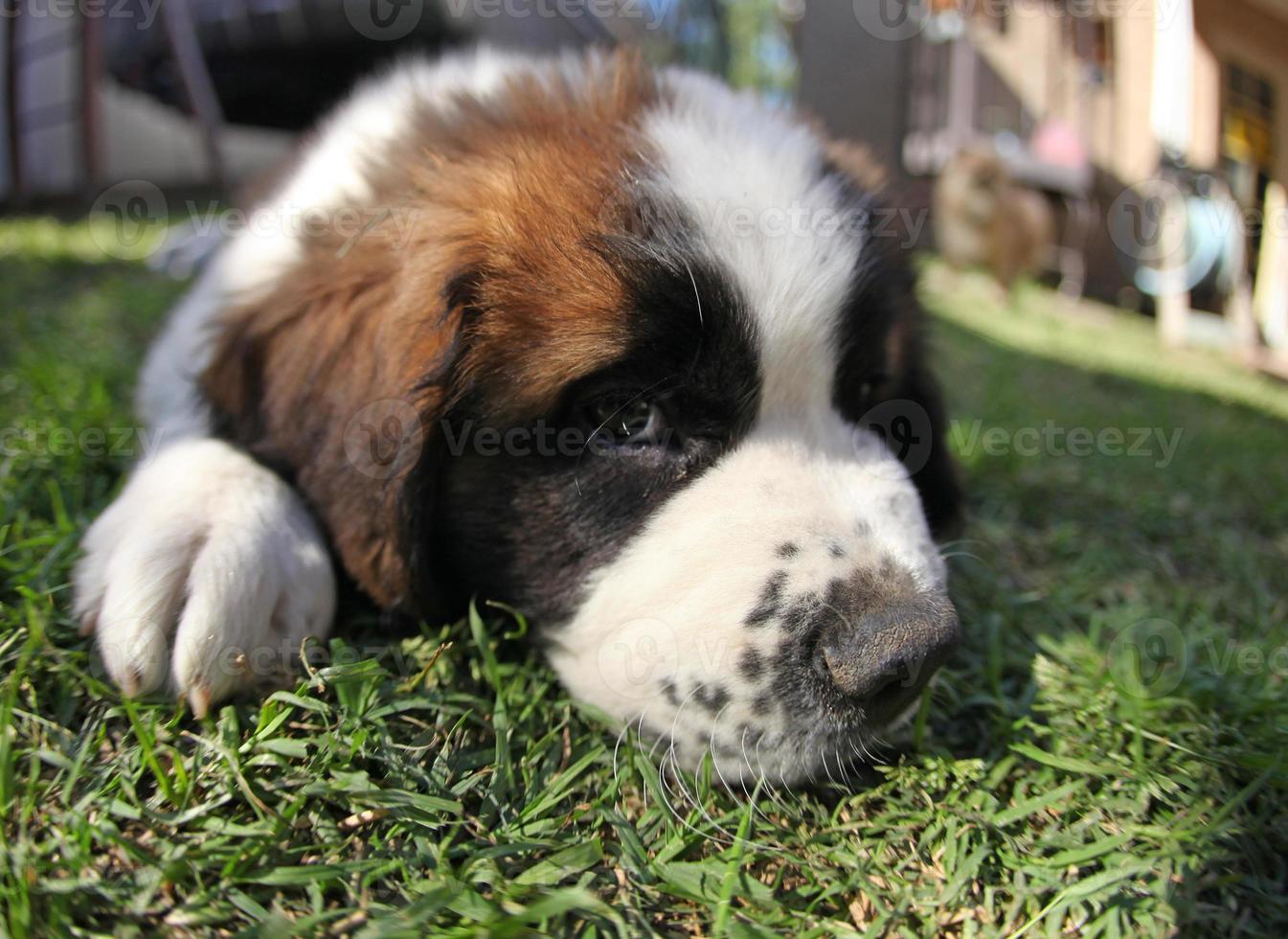 cachorro tumbado en la hierba con cara de tristeza foto