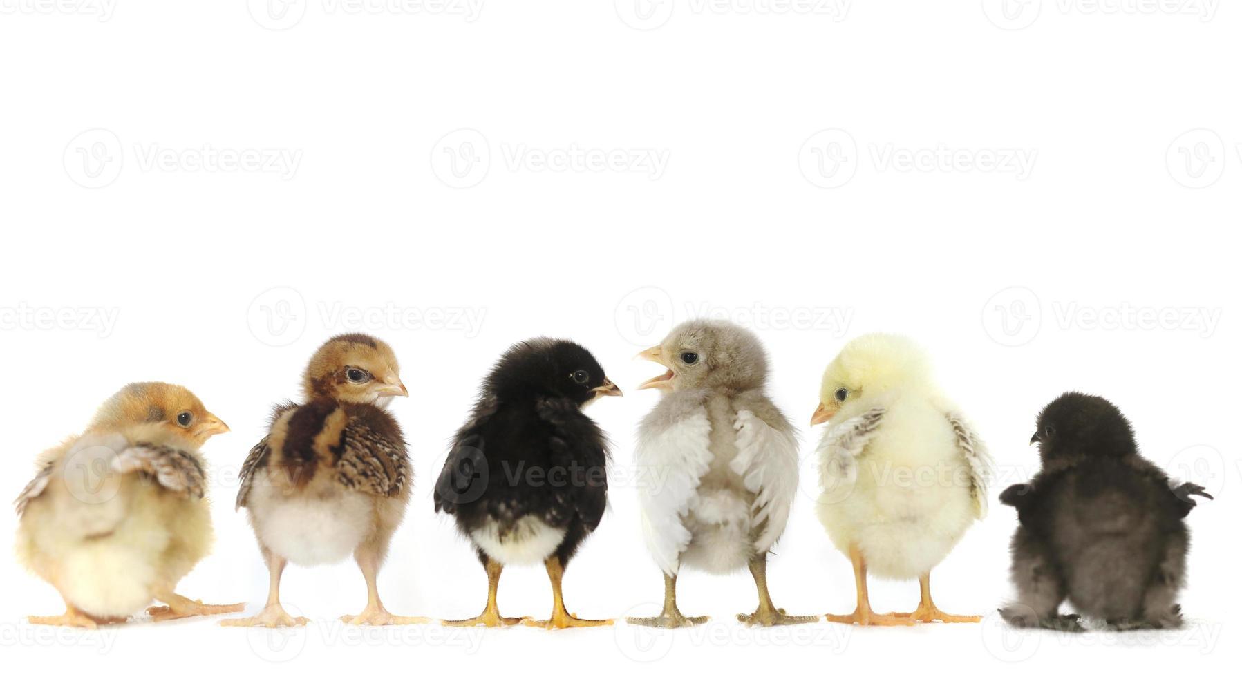 Muchos pollitos se alinearon en blanco foto