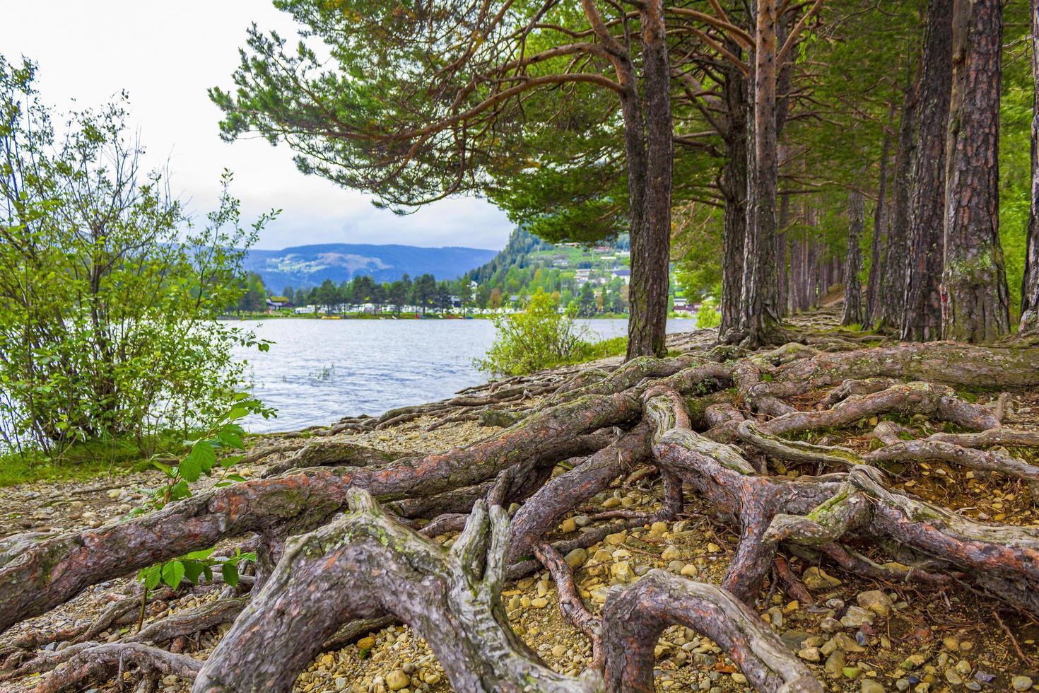 Enormes raíces de árboles poco profundos de pinos Fagernes Island Noruega foto