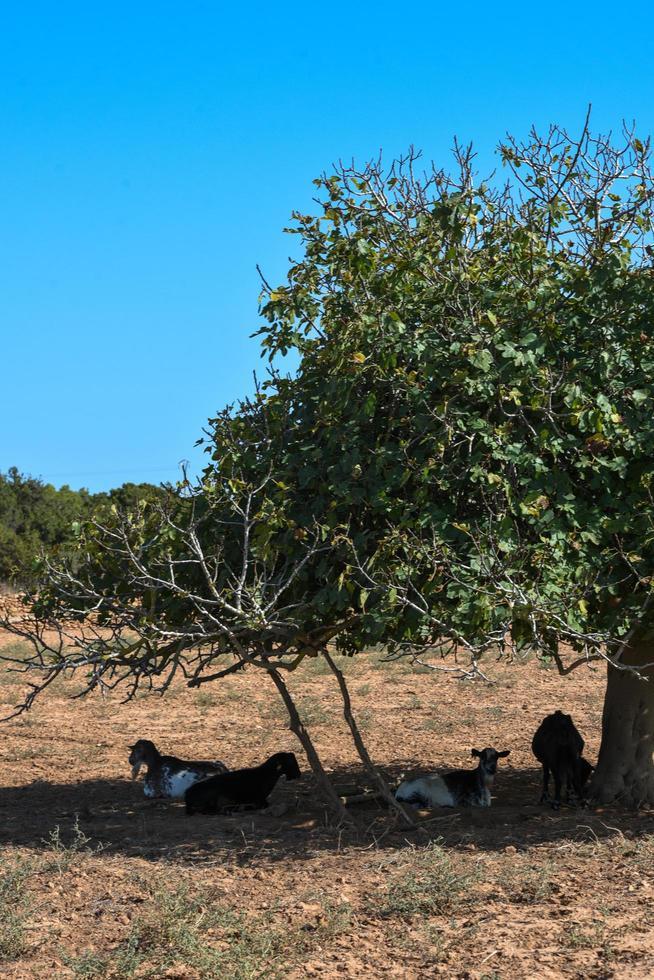 Cabras bajo la higuera en el campo de la isla de Formentera, España foto