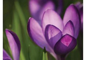 Krokus Bloemen