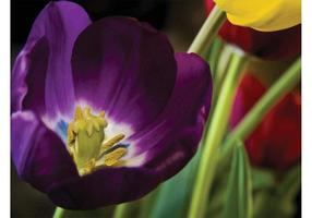 Tulpen Tapete