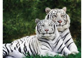 White Tigers du Bengale