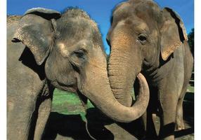 Casal de elefantes