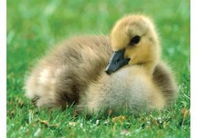 Kanada Gosling