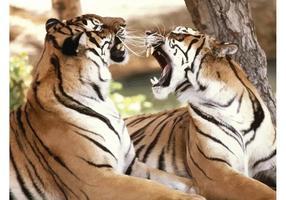 Roaring Bengal Tigers