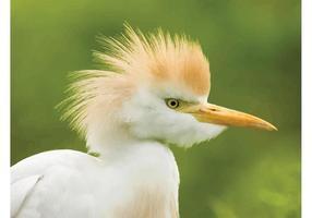 Egret de bétail