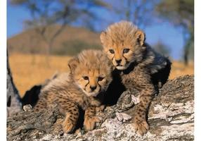 Bebés del guepardo
