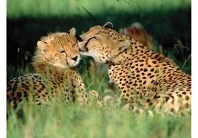 Jachtluipaard liefde