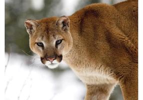 Cougar Winter
