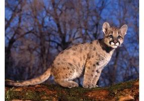Kleine Cougar